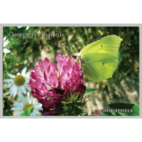 Gonepteryx rhamni on clover