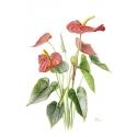 Anthurium andraeanum