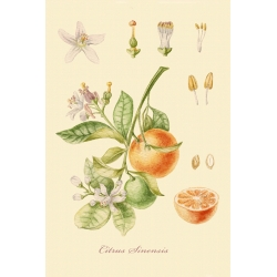 "A series of botanical illustration ""Fruit Trees: Orange""."