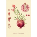 "A series of botanical illustration "" Fruit Trees: Pomegranate"""