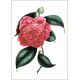 Camellia - a set of 15 postcards