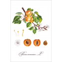 Botanical illustration. Apricot