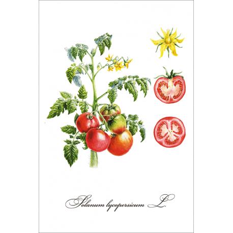 Botanical illustration. Tomatoes