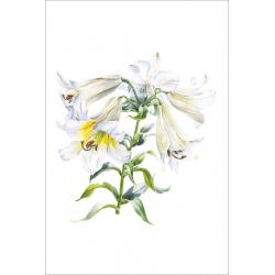 Белая Трубчатая Лилия