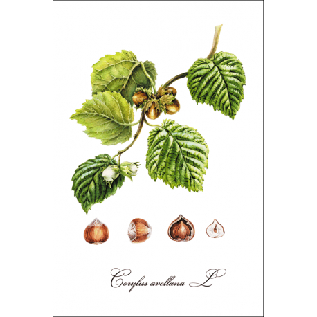 Botanical illustration. Hazelnut