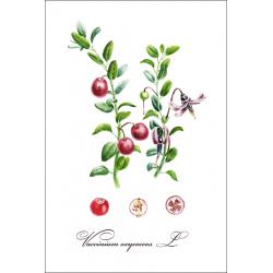 Ботаническая иллюстрация. Клюква