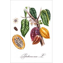 Ботаническая иллюстрация. Какао