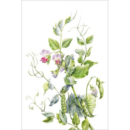 Botanical illustration. Green peas