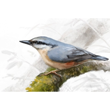 Birds of Russia: The Eurasian Nuthatch (Sitta europaea)