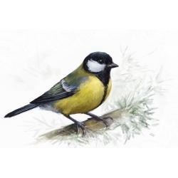 Птицы России: Синица