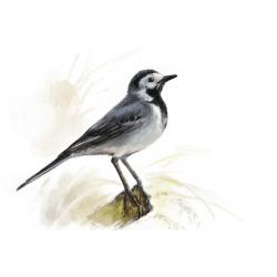Птицы России: Трясогузка