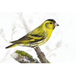 Birds of Russia: The Eurasian Siskin (Carduelis spinus)