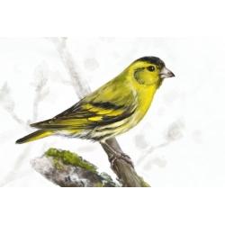 Птицы России: Чиж