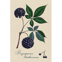 Medicinal berries of Russia. Eleutherococcus