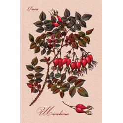 Medicinal berries of Russia. Rosa