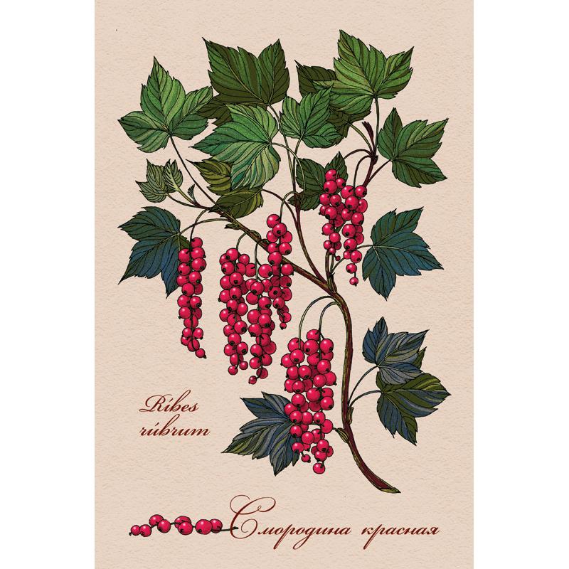 Красная смородина открытки 26