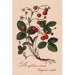 Medicinal berries of Russia. Fragaria viridis