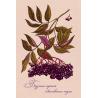 Medicinal berries of Russia. Sambucus nigra