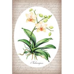 Тропические растения. Фаленопсис