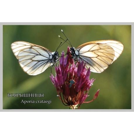 Боярышницы на цветке дикого лука