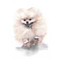 Pomeranian Spitz dog