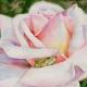 Сказка в розе