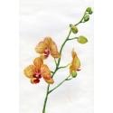 Оранжевая орхидея
