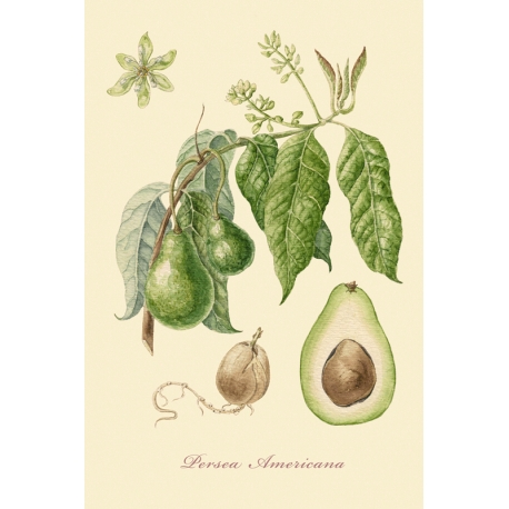 "A series of botanical illustration ""Fruit Trees: Avocado""."