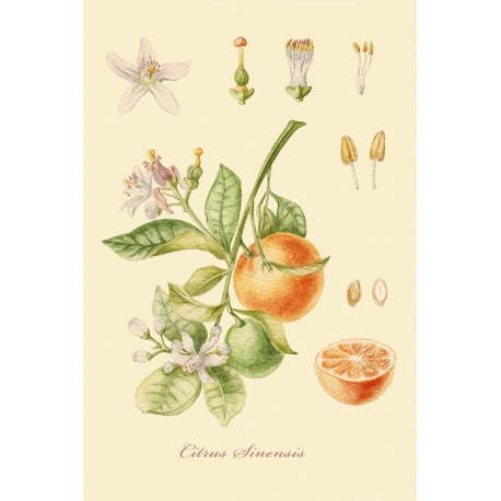 """Серия ботанических иллюстраций """"Плодовые деревья: Апельсин""""."""