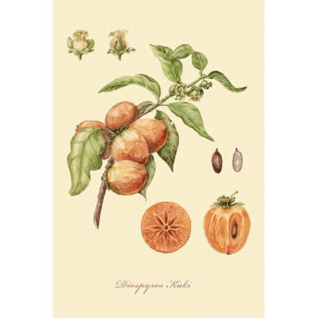 """A series of botanical illustration """"Fruit Trees: Persimmon""""."""