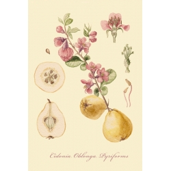 "A series of botanical illustration ""Fruit Trees: Quince""."