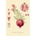 "A series of botanical illustration "" Fruit Trees: Pomegranate"""