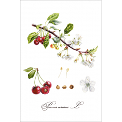 Botanical illustration. Cherry