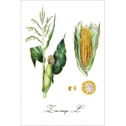 Botanical illustration. Corn