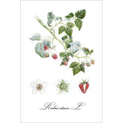 Botanical illustration. Raspberry
