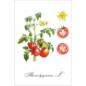 Botanical illustration. Tomatoes