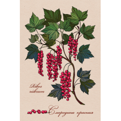 Medicinal berries of Russia. Red currant