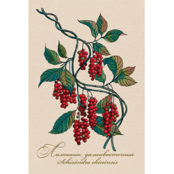 Medicinal berries of Russia. Schisandra chinensis
