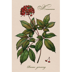 Medicinal berries of Russia. Panax ginseng